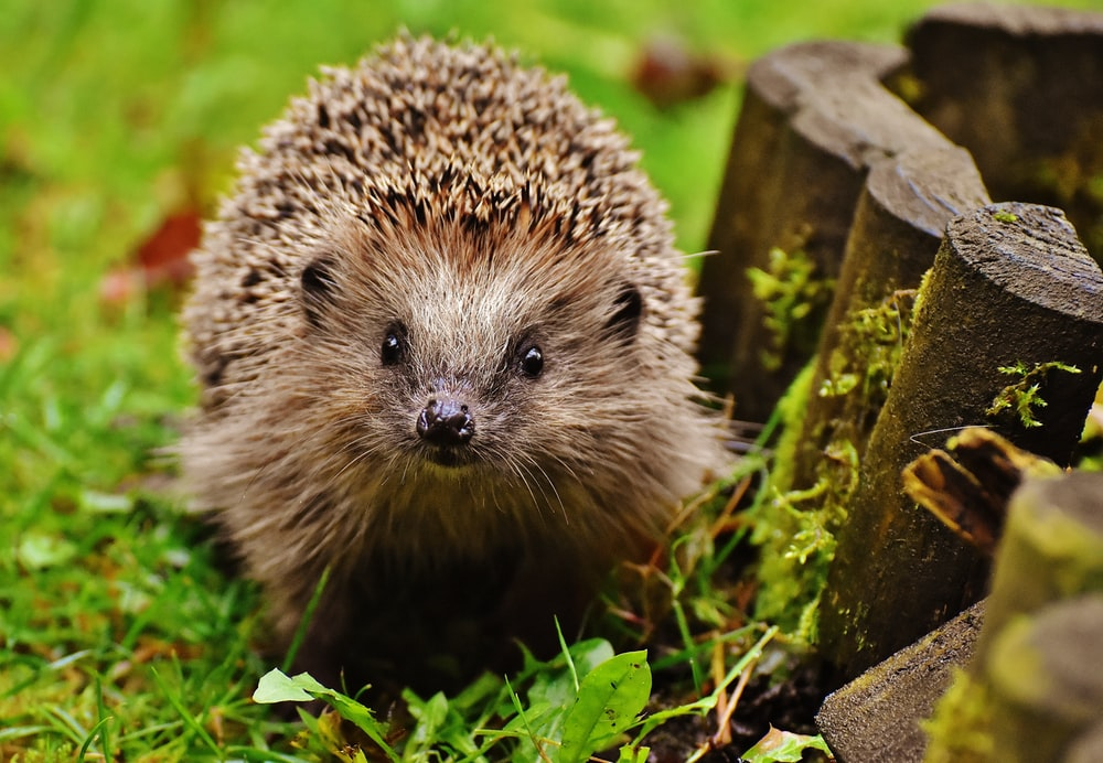 hedgehog on green moss during daytime
