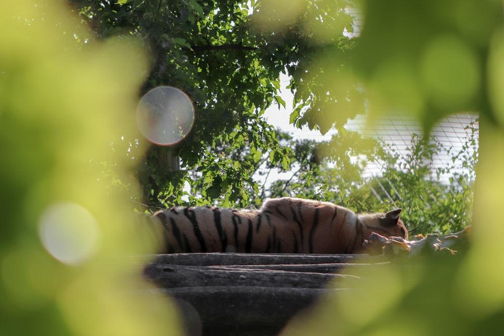 tiger lying on black concrete