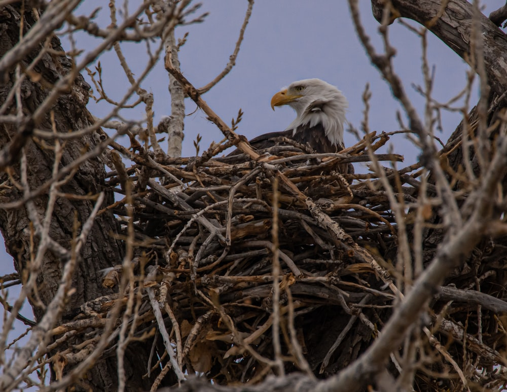 white and brown eagle on brown nest