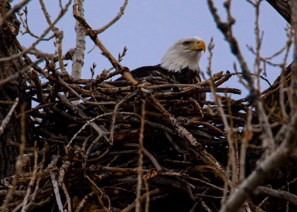 bald eagle on brown nest