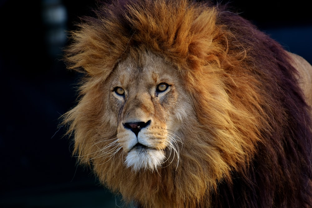 lion lying on black textile