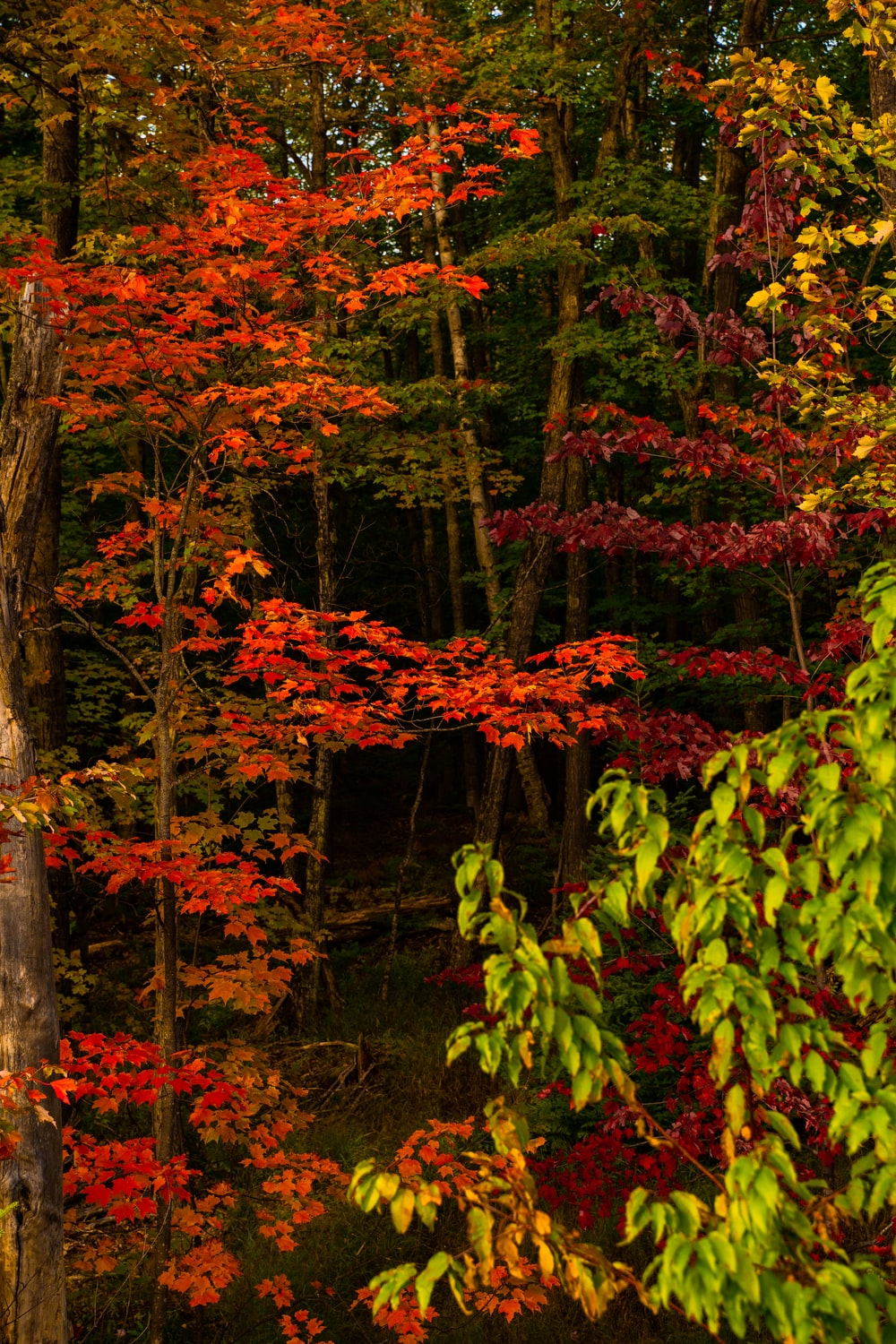 red and green leaf trees