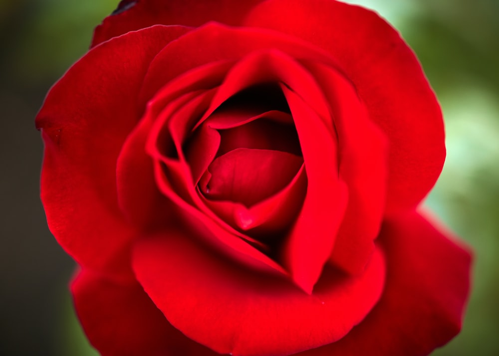 red rose in close up photography