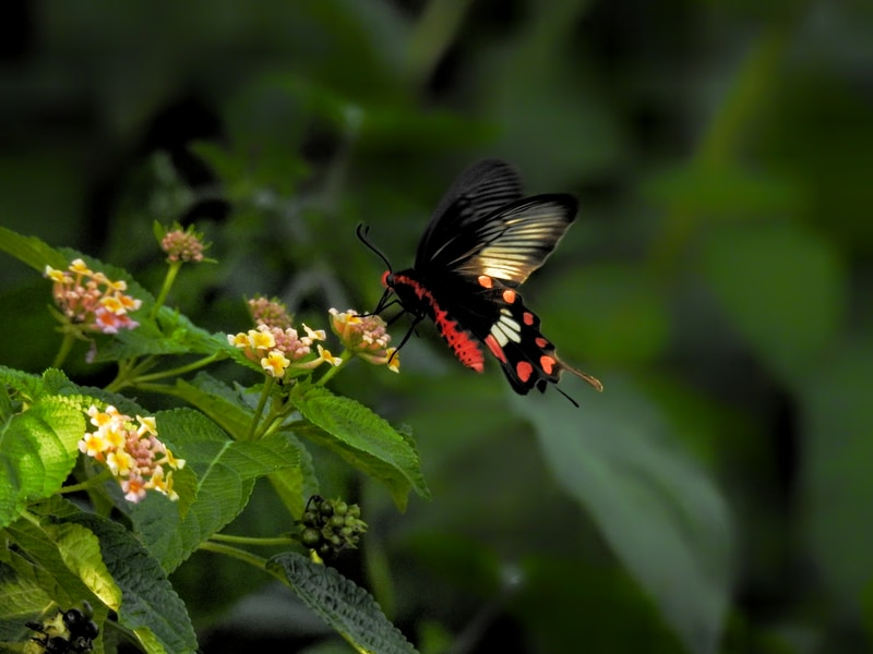 black and red butterfly perched on yellow and red flower in close up photography during daytime