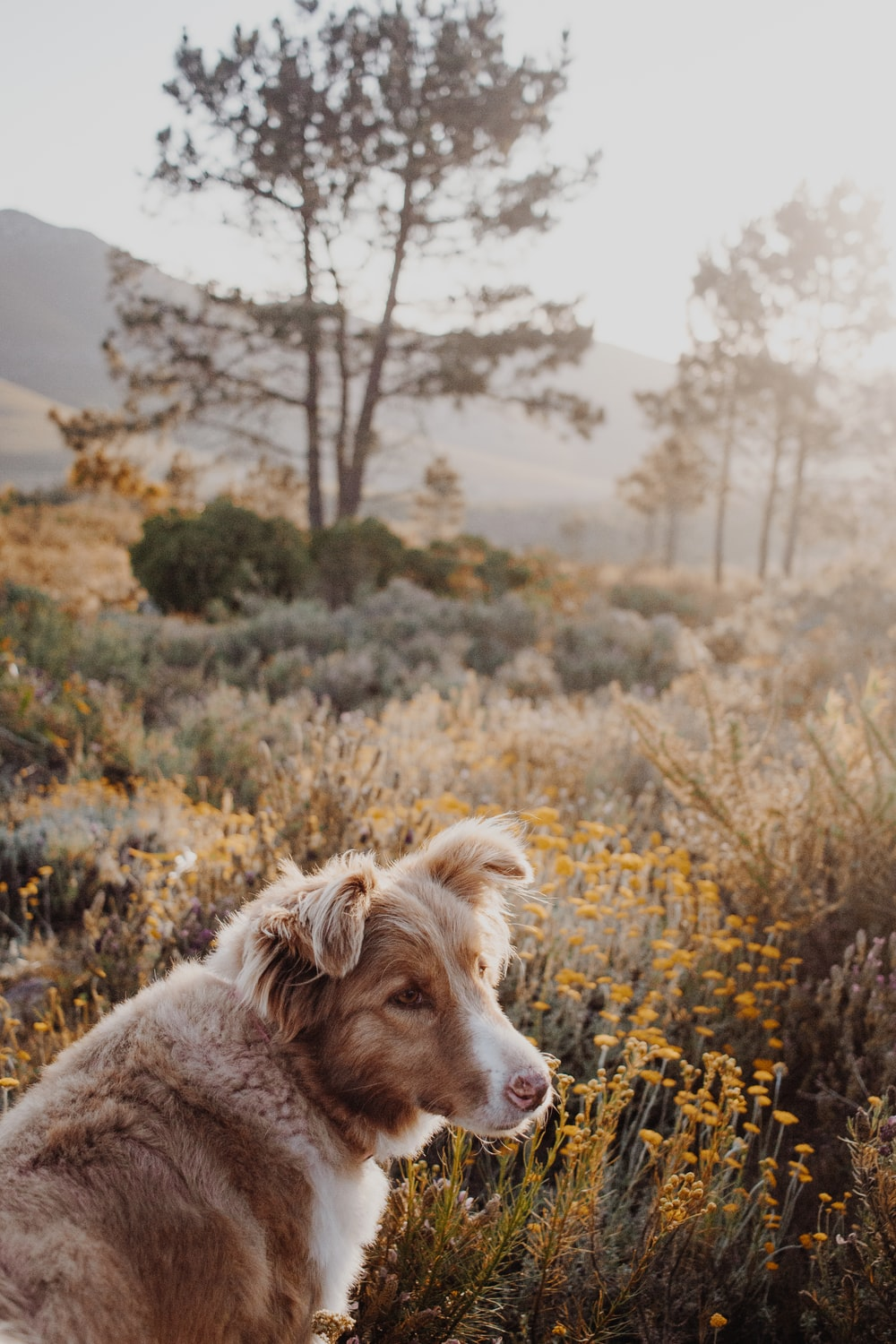 white and brown short coated dog on yellow flower field during daytime