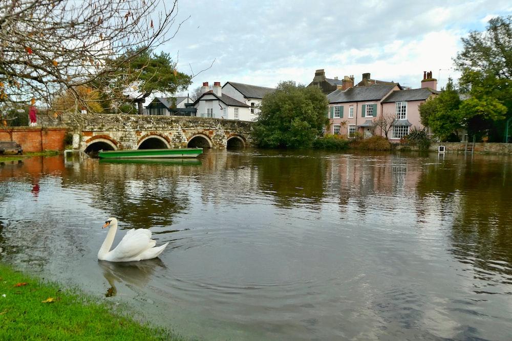 white swan on river near houses during daytime