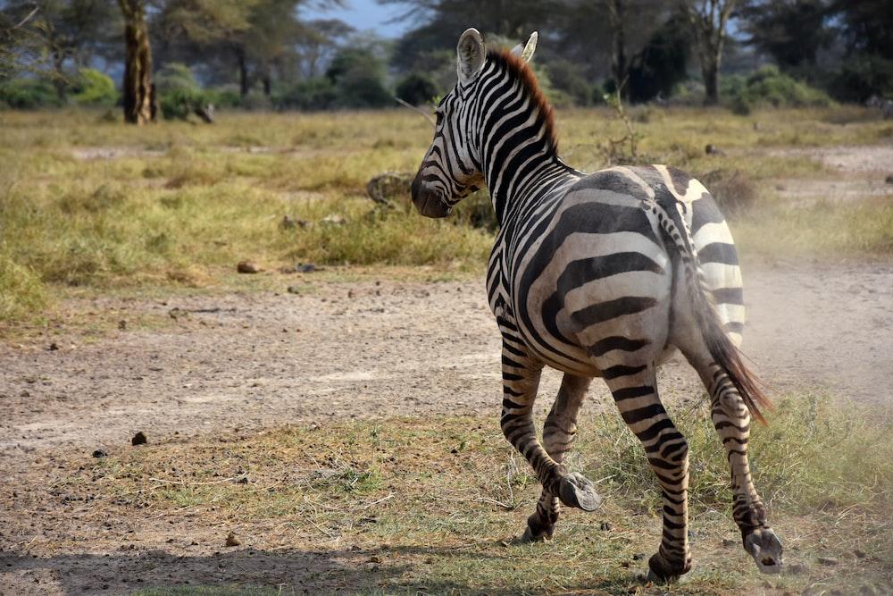 zebra walking on brown field during daytime