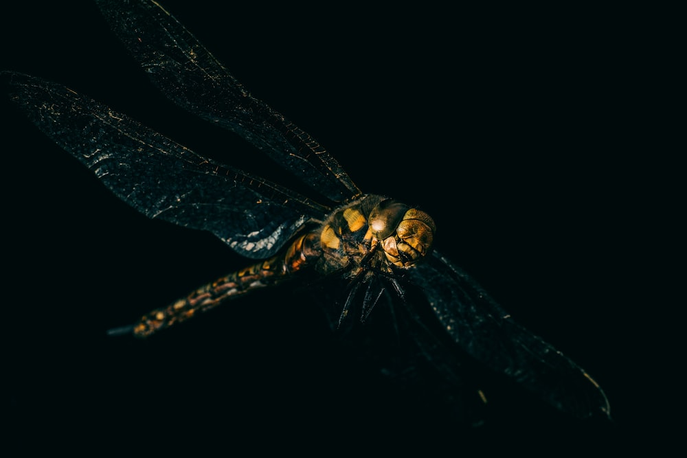 yellow and black dragonfly on black background