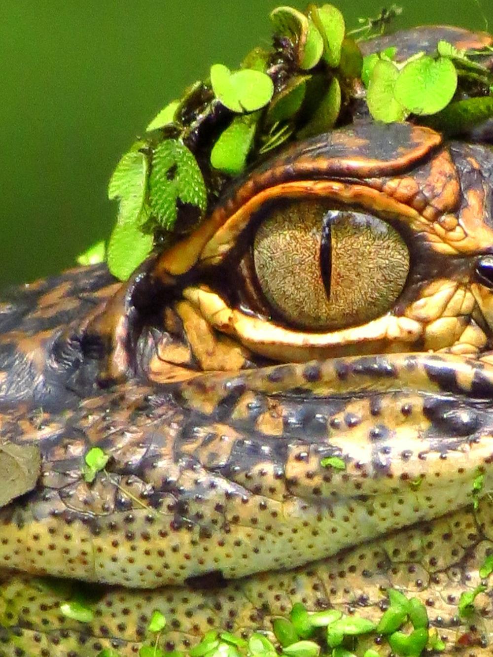 black and brown crocodile on green grass
