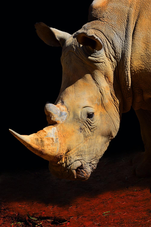 brown rhinoceros on black background