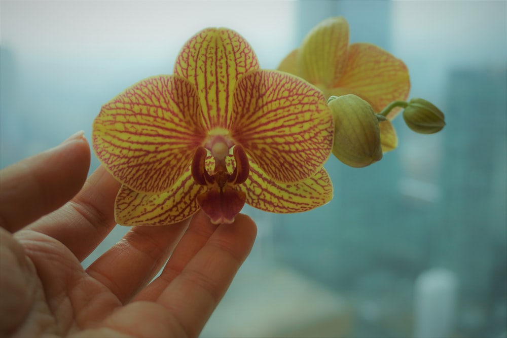 orange moth orchid in persons hand