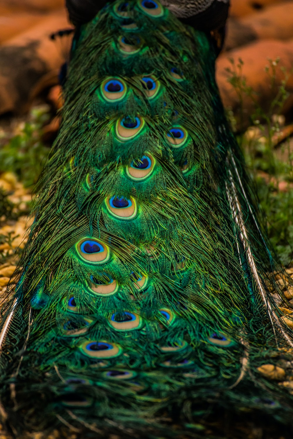 blue green and brown peacock feather