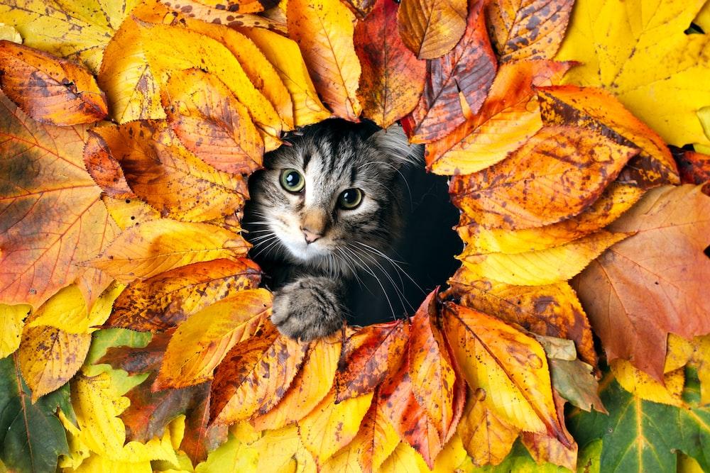grey tabby kitten on orange leaves