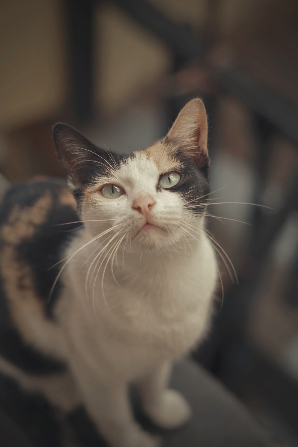 white brown and black cat