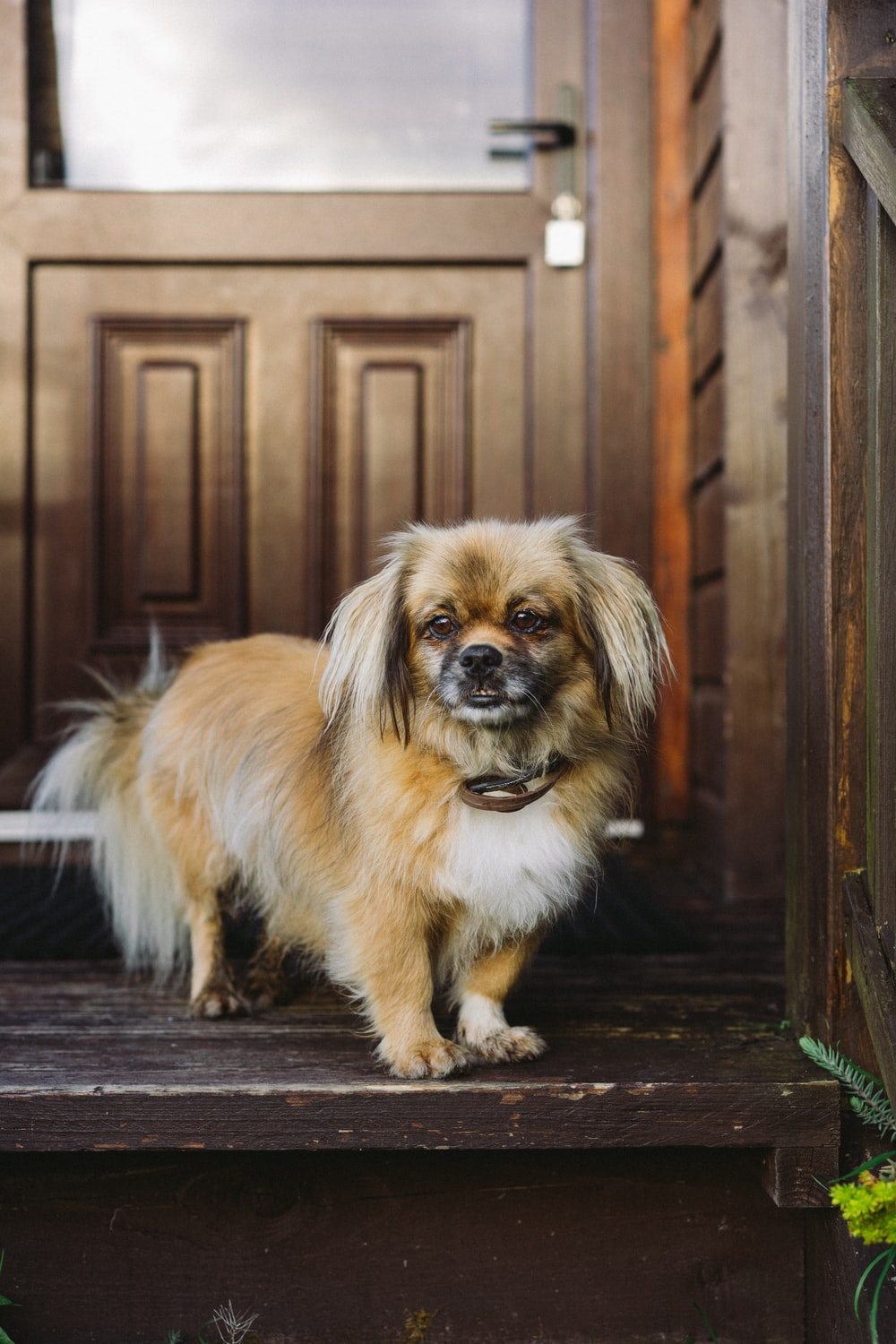 brown and white long haired small dog