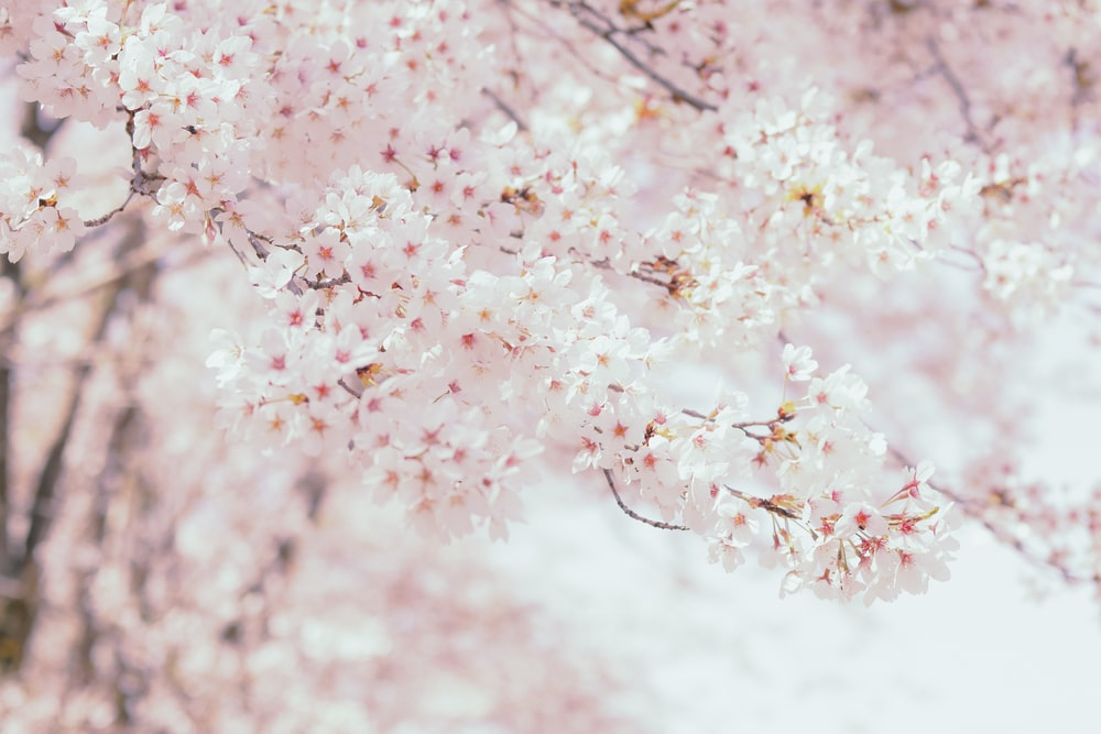 pink and white flower petals