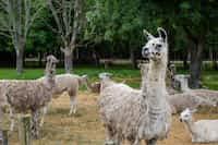 Toys for llamas llama stories