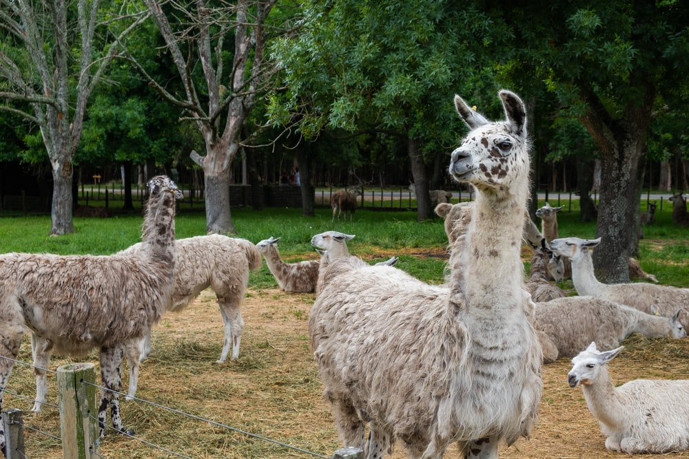 group of white llama on green grass field during daytime