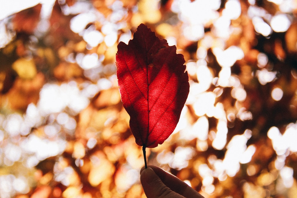 red leaf in tilt shift lens