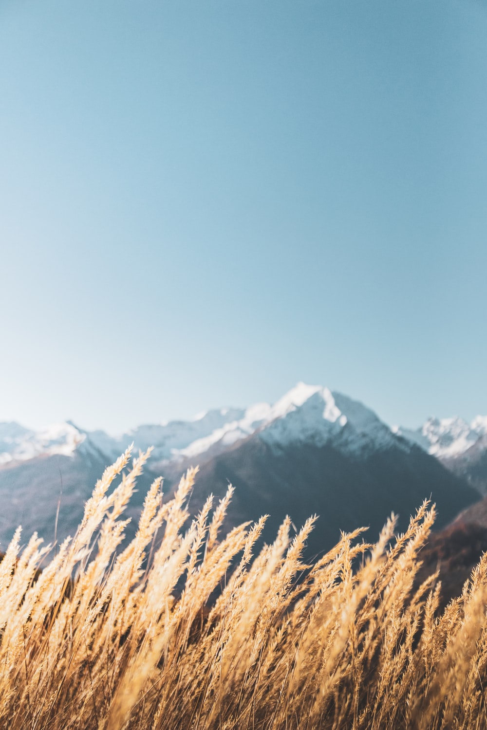 brown wheat field near snow covered mountain during daytime
