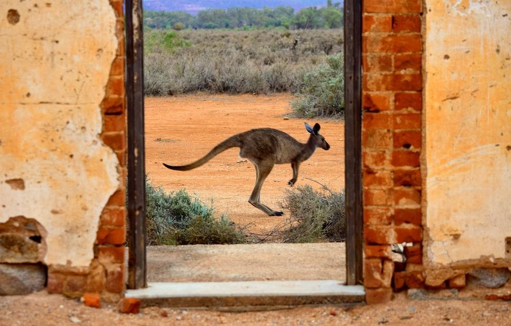 brown kangaroo jumping on brown concrete wall during daytime