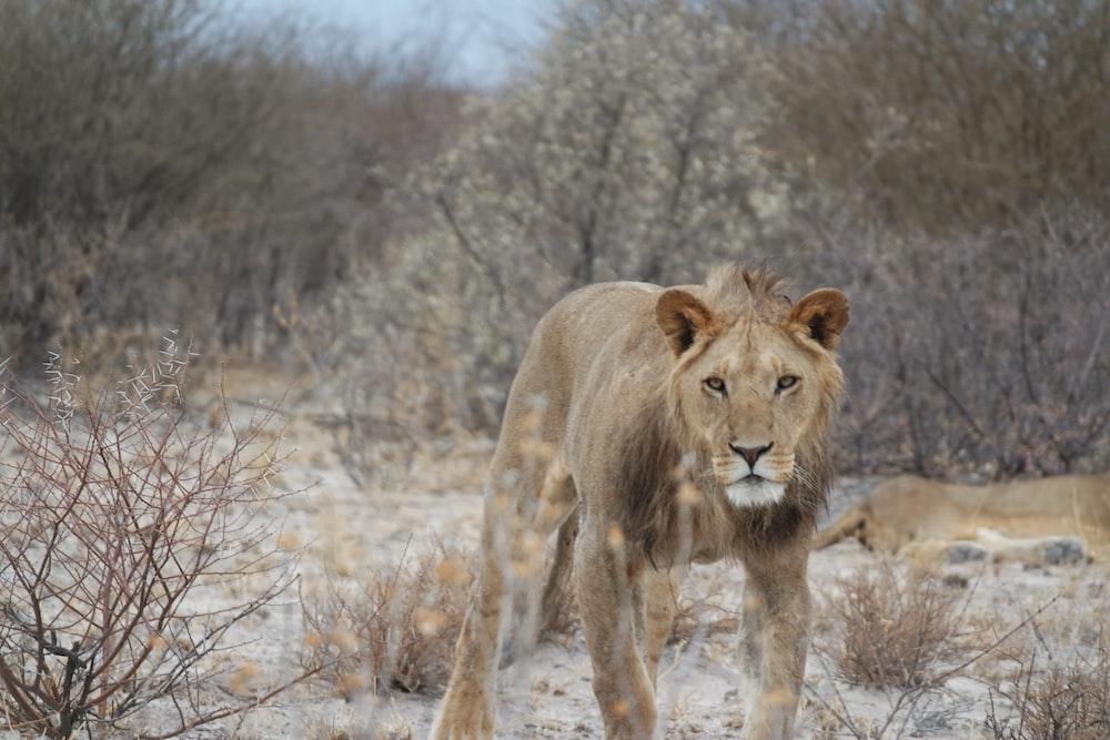 brown lion on brown grass field during daytime