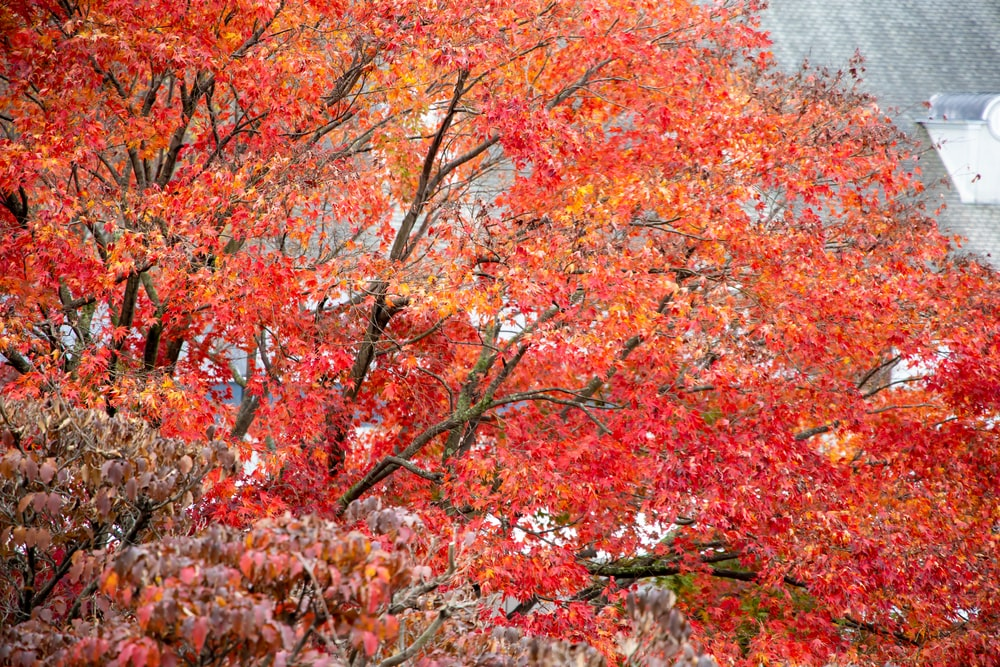 red and brown leaf trees