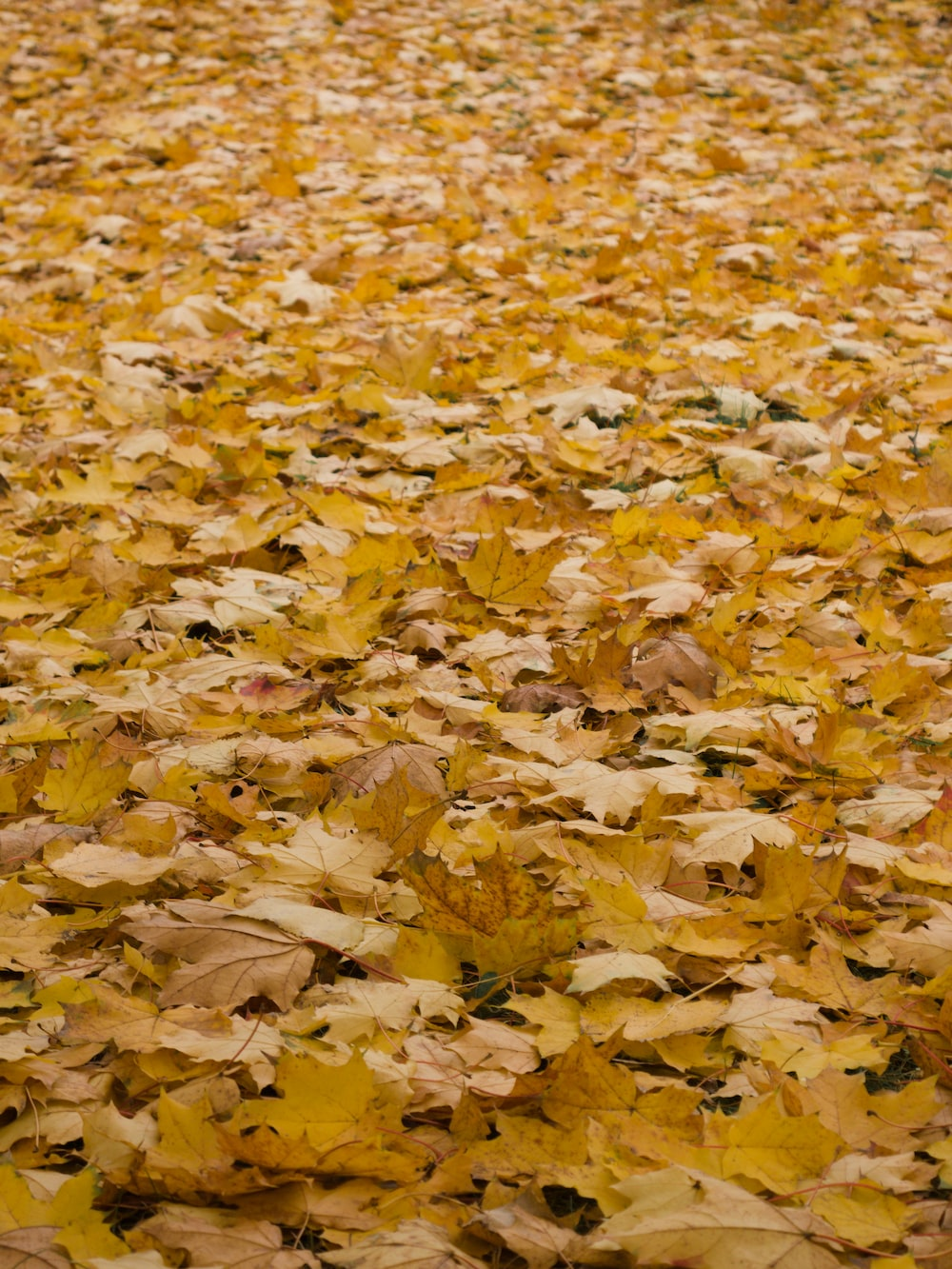 brown and yellow leaves on ground