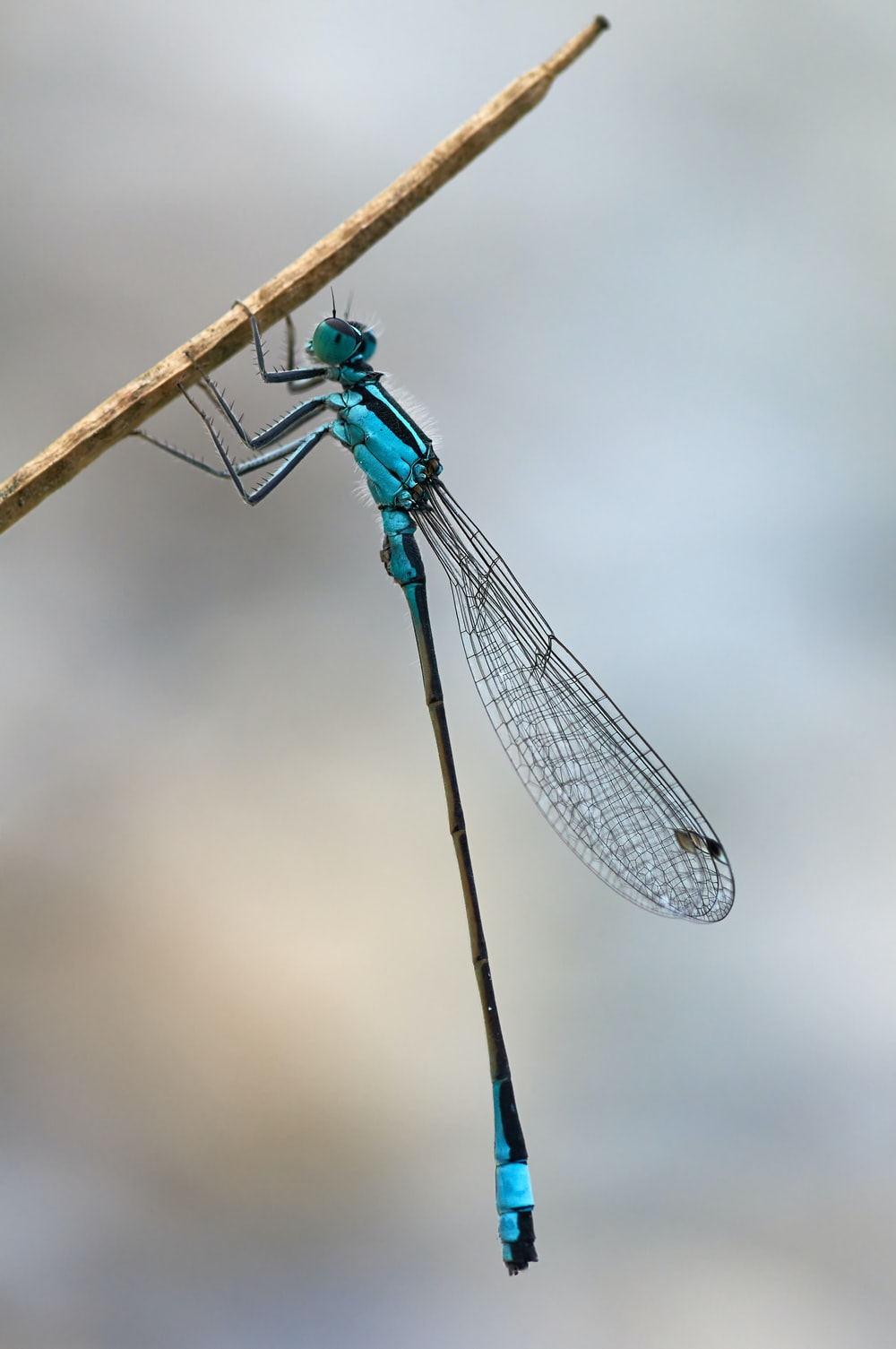 blue damselfly perched on brown stick in close up photography during daytime