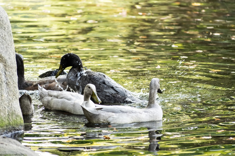 two white and black birds on water during daytime