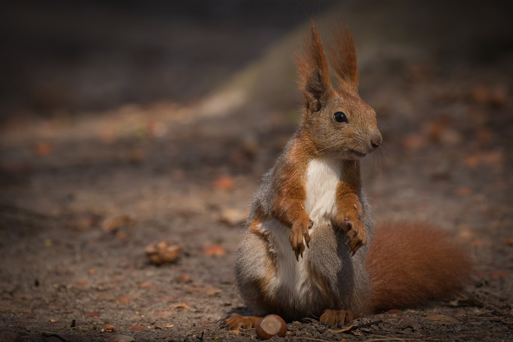 brown squirrel on brown soil