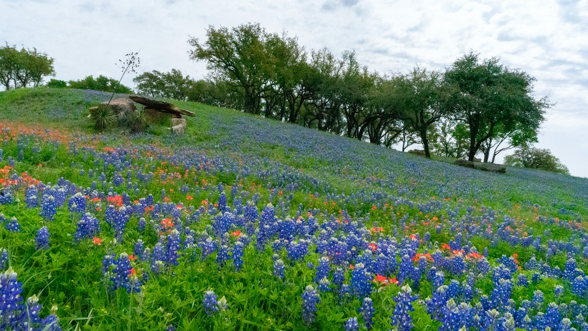 blue bonnets in Spring, Texas where TS Insulation Install provides the best service in all of Harris County.