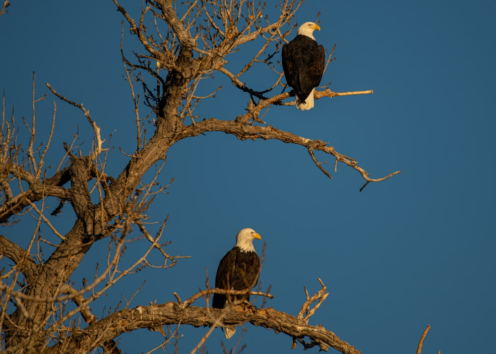 black and white eagle on brown bare tree during daytime