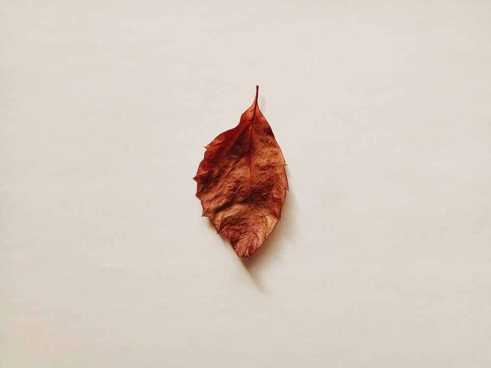 brown dried leaf on white surface