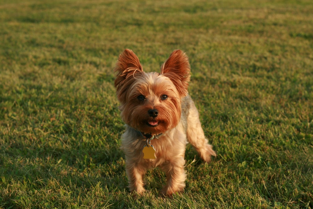 brown and white yorkshire terrier puppy on green grass field during daytime