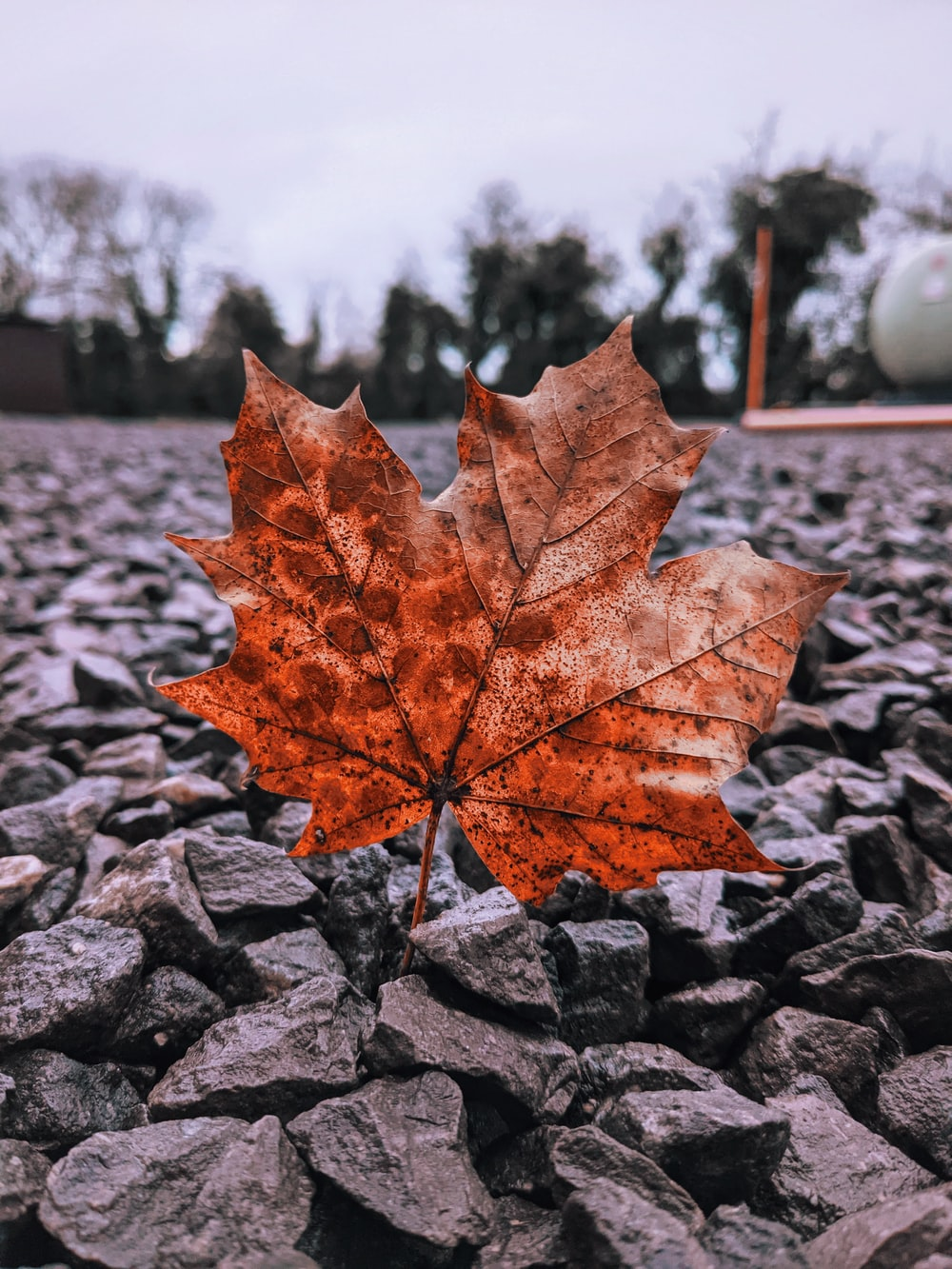 brown maple leaf on gray rock during daytime