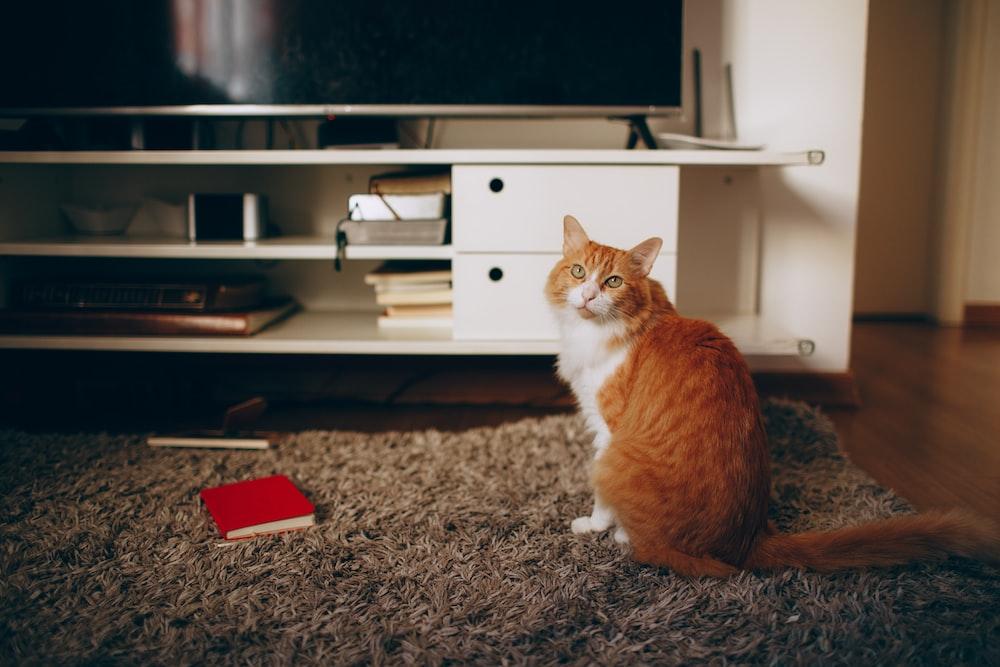 orange and white cat sitting on gray carpet