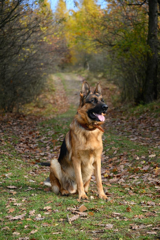 brown and black german shepherd on green grass field