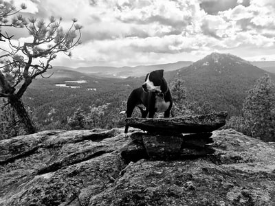 grayscale photo of short coated dog on rock evergreen teams background