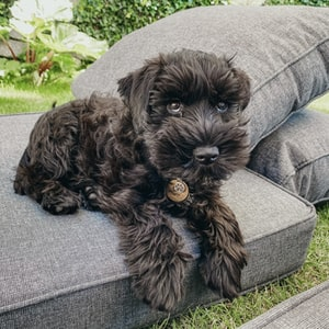 black long coat small dog on grey sofa