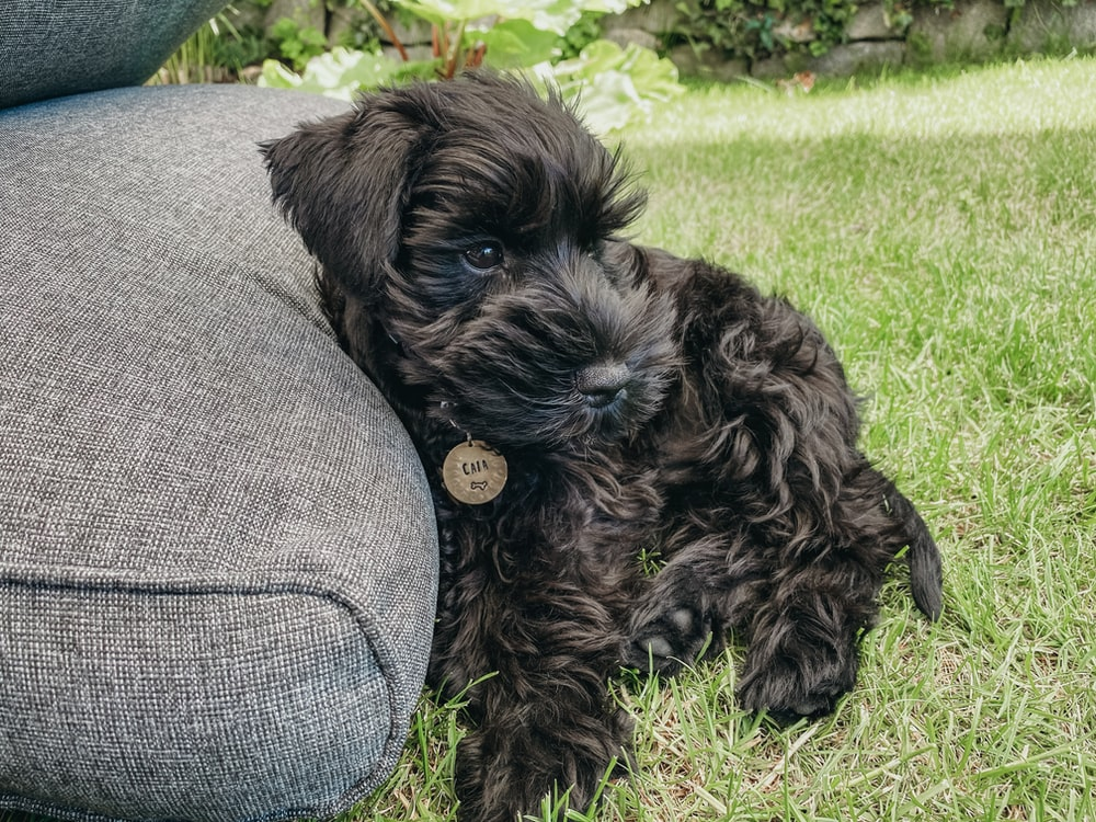 black long coat small dog lying on green grass field during daytime