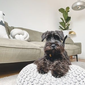 black long coated small dog on white and gray checkered armchair
