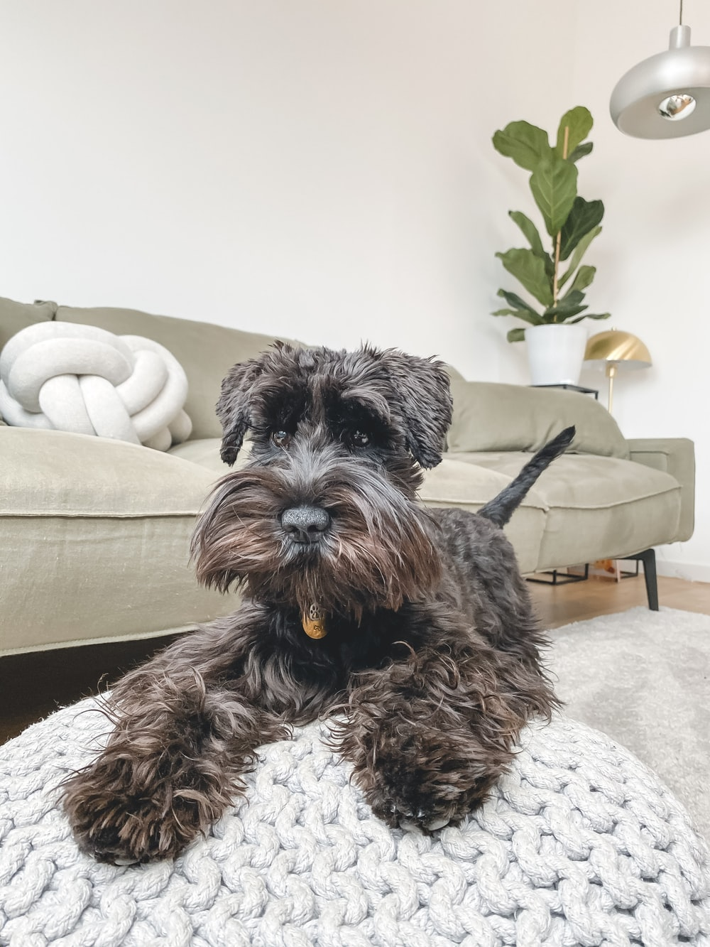 black and gray miniature schnauzer on white couch