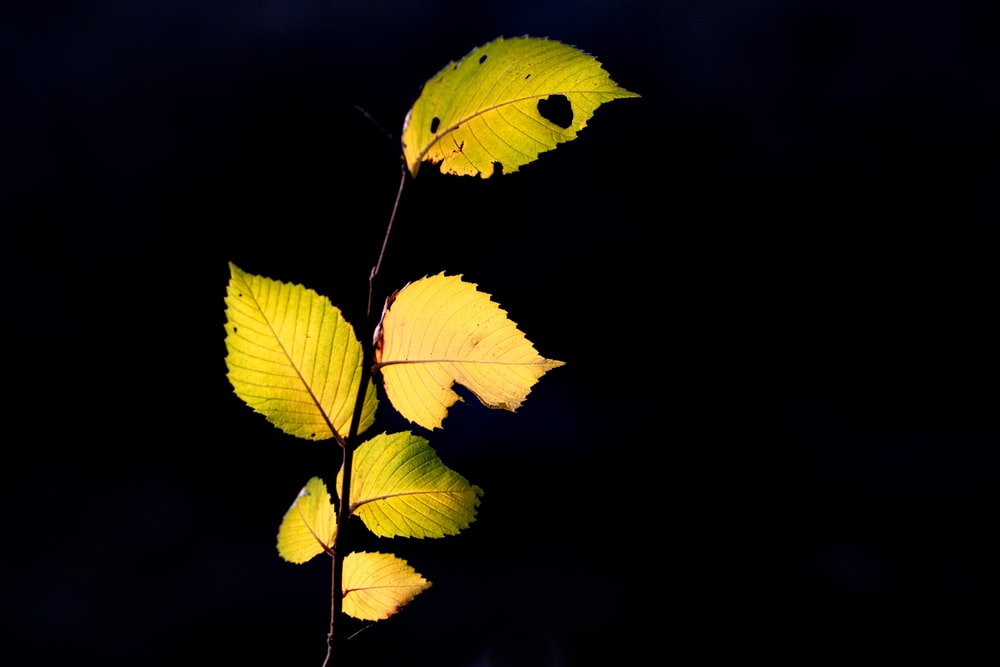green and yellow leaves in black background