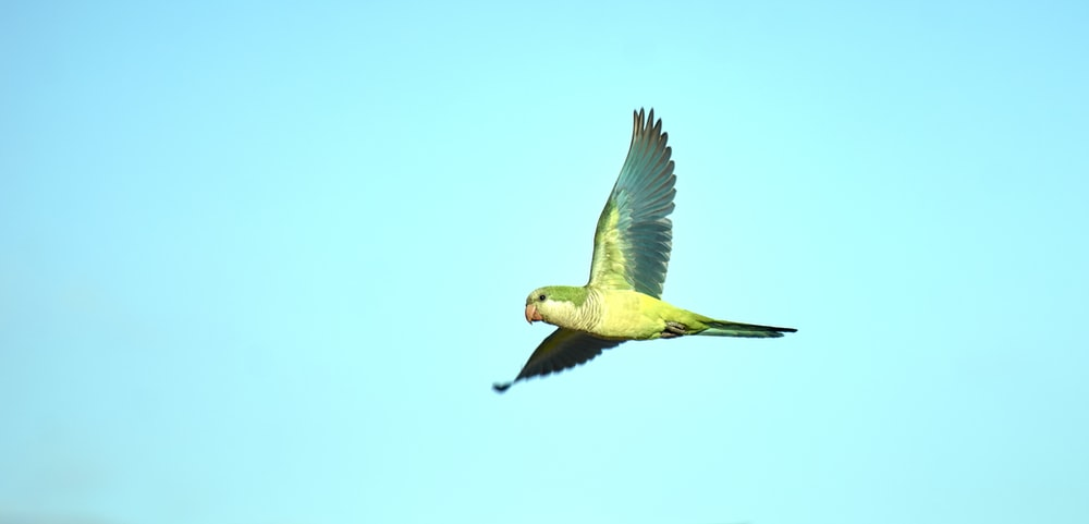 green and yellow bird flying
