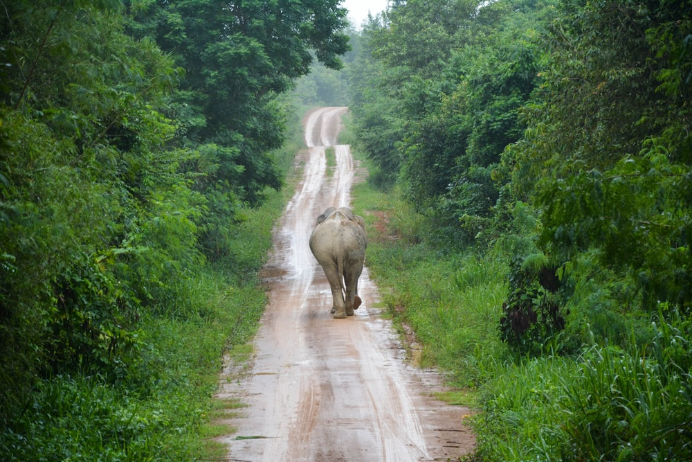elephant walking on road between green trees during daytime