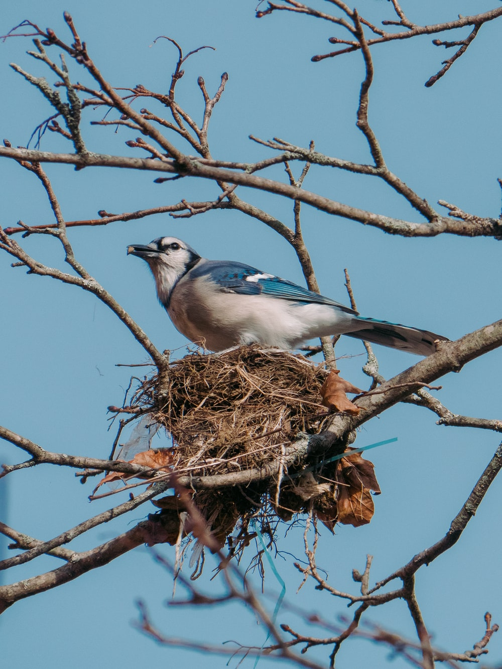blue and white bird on brown nest