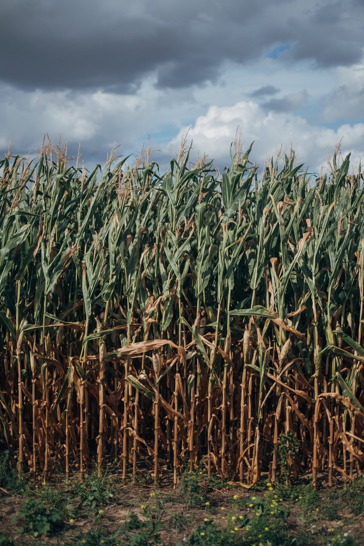 green corn field under blue sky during daytime