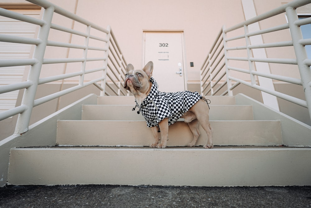 brown short coated small dog in black and white polka dot dress sitting on white wooden