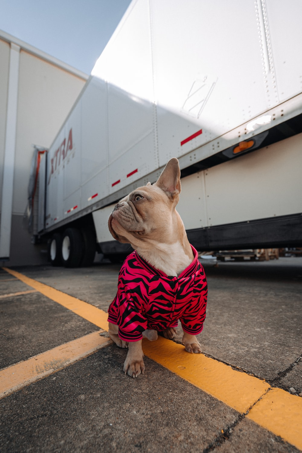 brown pug wearing red and white striped shirt and red and white plaid pants